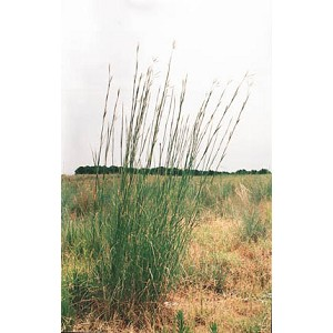 Andropogon geradii - Big Bluestem