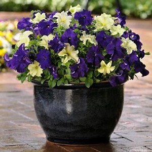 Hanging Basket Combo - Blueberry Lime Jam Petunia