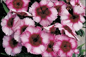Dianthus - Super Parfait Raspberry
