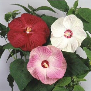 Hibiscus moscheutos - Hyper Belle Mix