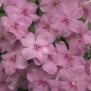 Impatiens - Accent Lavendar Blue