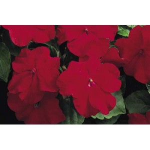 Hanging Basket - Impatiens - Musica Elegant Red
