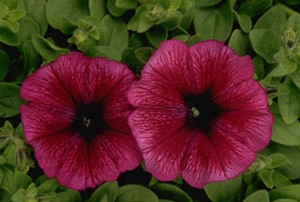Petunia - Carpet Plum