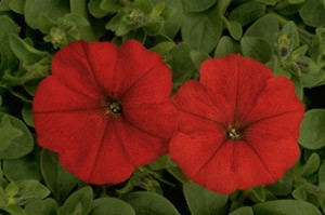 Petunia - Carpet Red