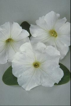 Petunia - Carpet White