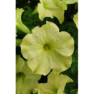 Petunia - Sophistica Lime Green