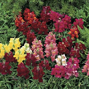 Snapdragon - Chimes Mix