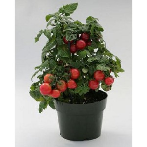 Tomatoes - Sweet N Neat Cherry Red