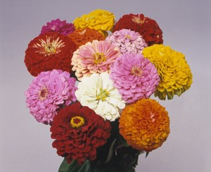Zinnia - Benary Mix