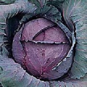 Cabbage - Ruby Perfection