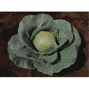 Cabbage - Green - Organic