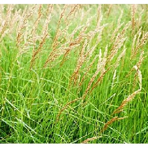 Calamagrostis canadensis - Blue Joint Grass