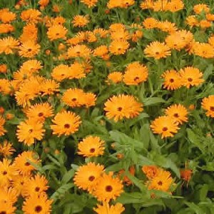 Calendula - Dawn Orange