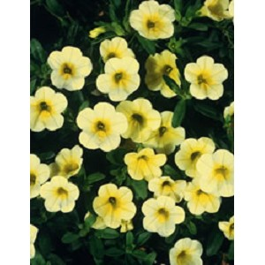 Hanging Basket - Calibrachoa-Aloha Nani Golden Girl