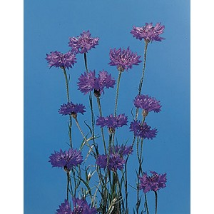 Centaurea - Boy Blue Bachelor Buttons