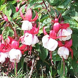 Hanging Basket - Fuschia-Red/White
