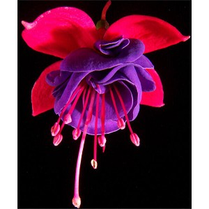 Hanging Basket - Fuschia-Rose/Violet (Dark Eyes)