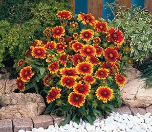 Gaillardia aristata - Arizona Sun (Blanket Flower)