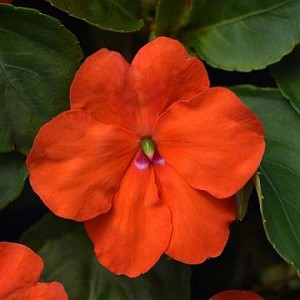Impatiens - Beacon Orange