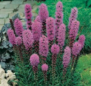 Liatris spicata - Marsh Blazing Star