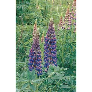 Lupinus perennis polyphyllus - Gallery Blue (Lupine)