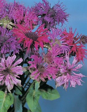 Monarda didyma - Panorama Mix