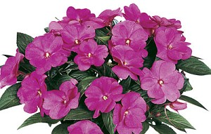 Hanging Basket - New Guinea Imaptiens-Magnum Hot Pink