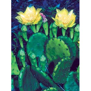 Opuntia humifusa - Eastern Prickly Pear
