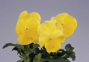 Pansy - Magnum Yellow