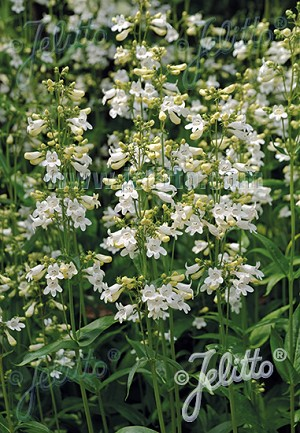 Penstemon digitalis - Foxglove Beardtongue