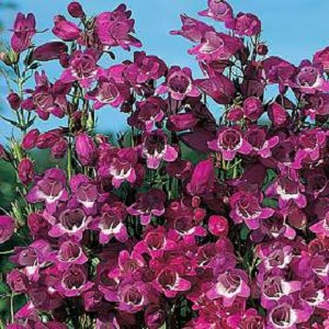 Penstemon x Mexicali - Miniature Bells