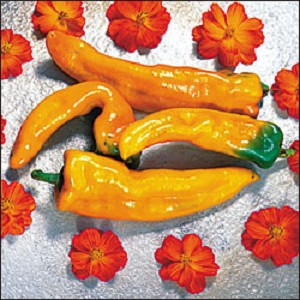 Heirloom Pepper - Sweet Golden Treasure - 18