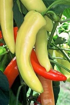 Peppers - Hot Hungarian Wax