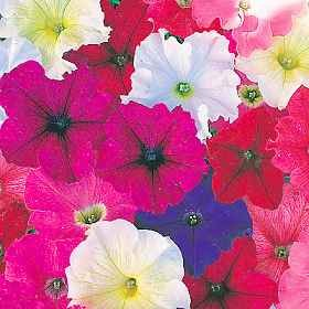 Petunia - Carpet Mix