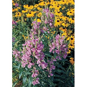 Physostegia virginiana rosea - Rose Crown