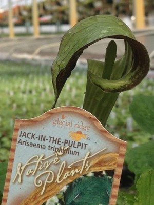 Arisaema triphyllum - Jack-in-the-Pulpit-***SOLD OUT