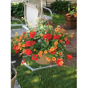 Hanging Basket Combo - Sunset Blaze - *** SOLD OUT
