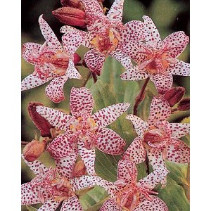 Tricrytis hirta - Toad Lily