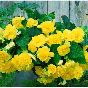 Hanging Basket - Tuberous Begonia-Yellow - Blitz - *** SOLD OUT
