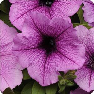 Hanging Basket - Wave Petunia-Easy Wave Plum Vein