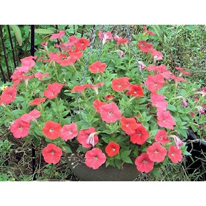 Hanging Basket - Wave Petunia-Easy Wave Red