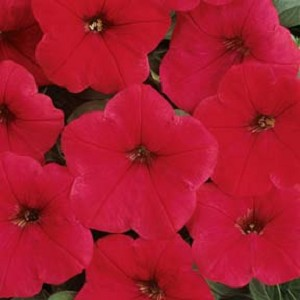 Wave Petunia - Easy Wave Red