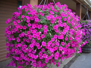 Hanging Basket - Wave Petunia-Pink - *** SOLD OUT